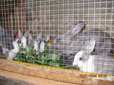 Dandelions and my Rabbits (Frances)