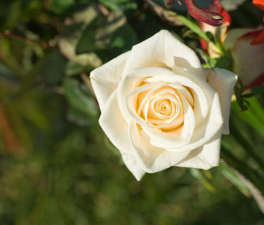meaning-of-white-rose_s600x600