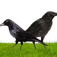 The filial crow